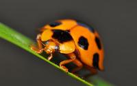 Ladybug [11] wallpaper 1920x1200 jpg