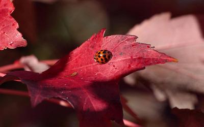 Ladybug [14] wallpaper