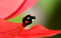 Ladybug [6] wallpaper 1920x1200 jpg