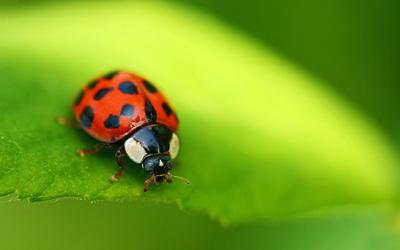 Ladybug [3] wallpaper