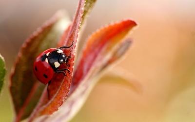 Ladybug on a red leaf wallpaper