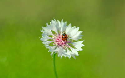 Ladybug on a white flower wallpaper
