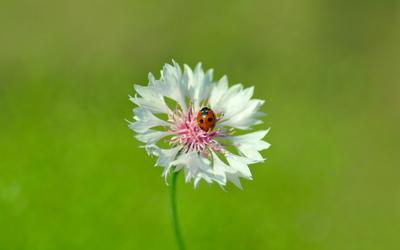 Ladybug on a white flower wallpaper