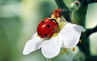 Ladybug on white flower wallpaper 2560x1600 jpg