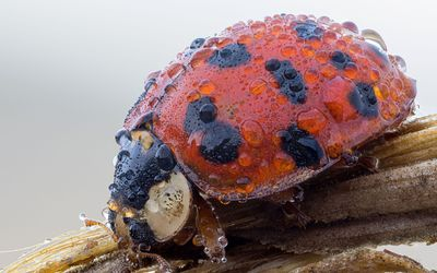 Ladybug with water drops Wallpaper