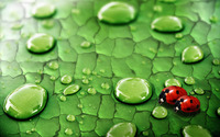 Ladybugs wallpaper 1920x1200 jpg