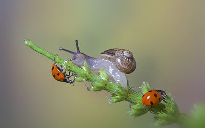 Ladybugs and a snail on a plant wallpaper