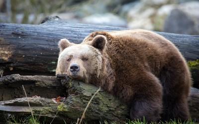 Lazy bear wallpaper