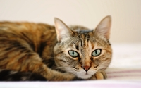 Lazy brown cat on white sheets wallpaper 1920x1200 jpg