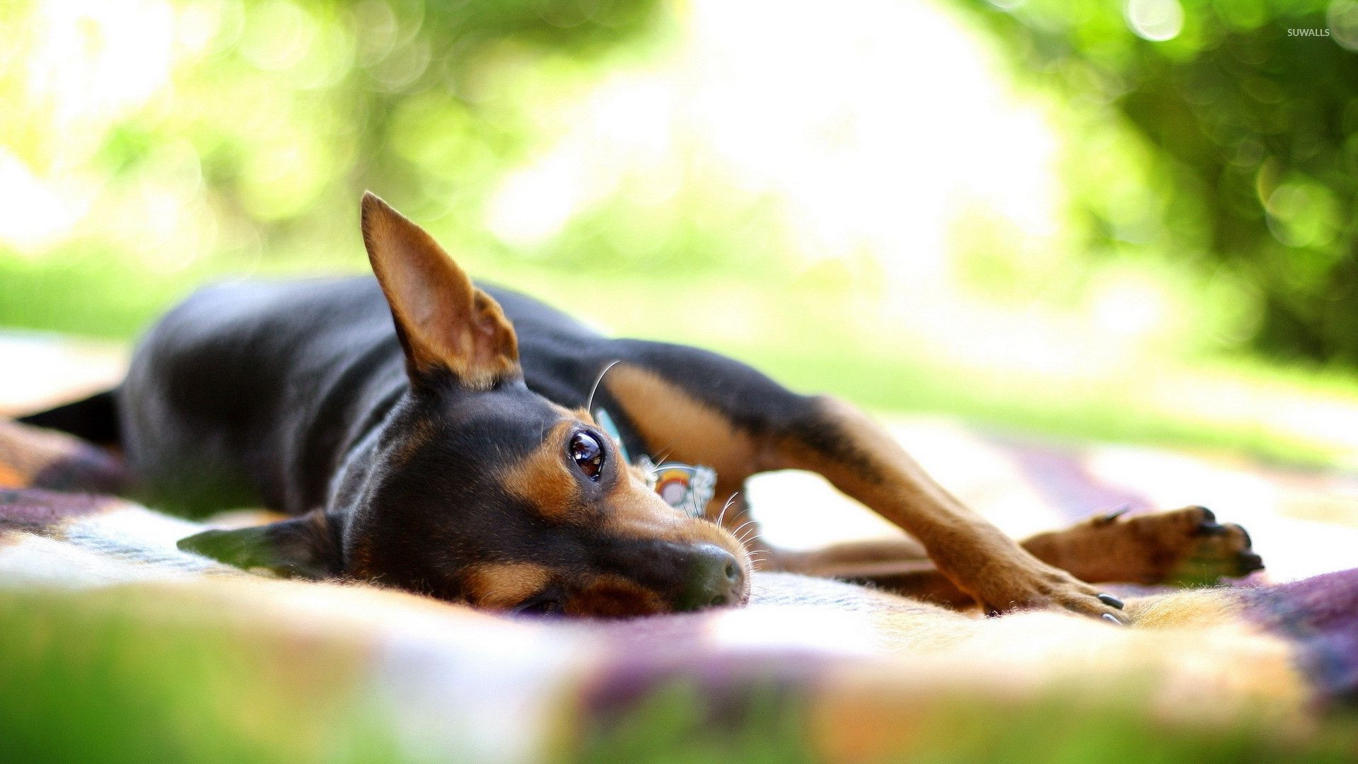 Lazy chihuahua wallpaper animal wallpapers 27470 lazy chihuahua wallpaper voltagebd Images