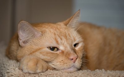 Lazy ginger cat wallpaper