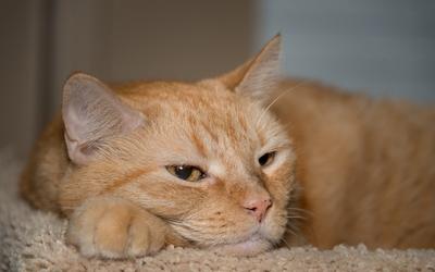Lazy ginger cat wallpaper