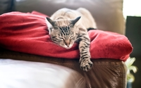 Lazy gray cat on a red blanket wallpaper 1920x1200 jpg
