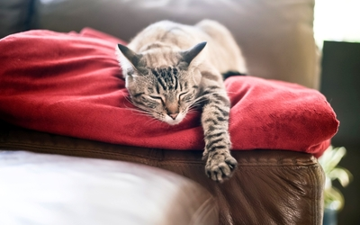 Lazy gray cat on a red blanket wallpaper