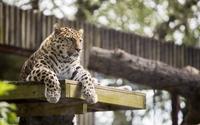 Lazy leopard in a tree wallpaper 1920x1200 jpg