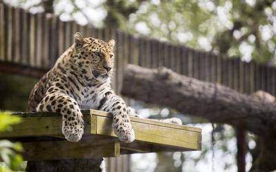 Lazy leopard in a tree wallpaper