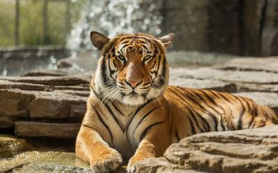 Lazy tiger resting on rocks wallpaper