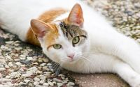 Lazy white and orange cat wallpaper 1920x1200 jpg