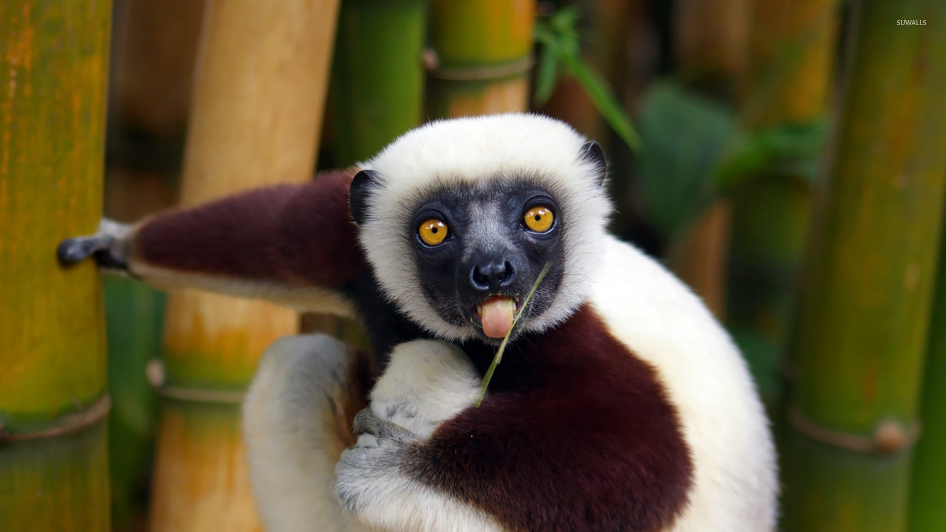 Top Lemur Wallpaper - lemur-15313-1920x1080  Trends_694039.jpg