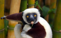 Lemur wallpaper 1920x1080 jpg