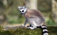 Lemur [2] wallpaper 1920x1080 jpg