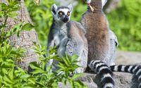 Lemurs wallpaper 2560x1600 jpg