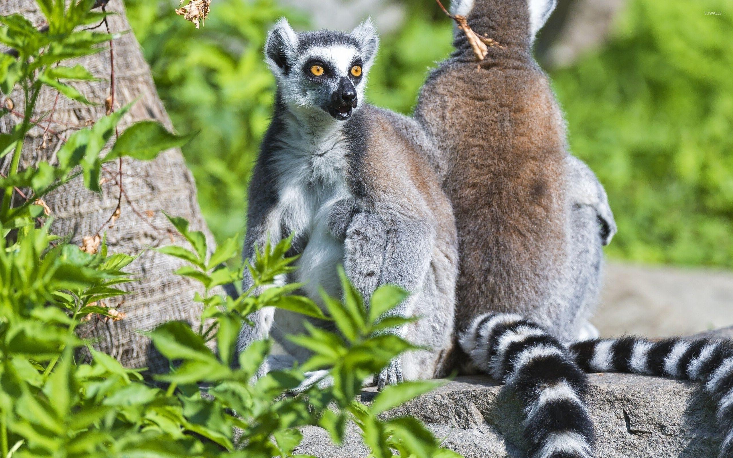 Top Lemur Wallpaper - lemurs-33348-2560x1600  Trends_694039.jpg