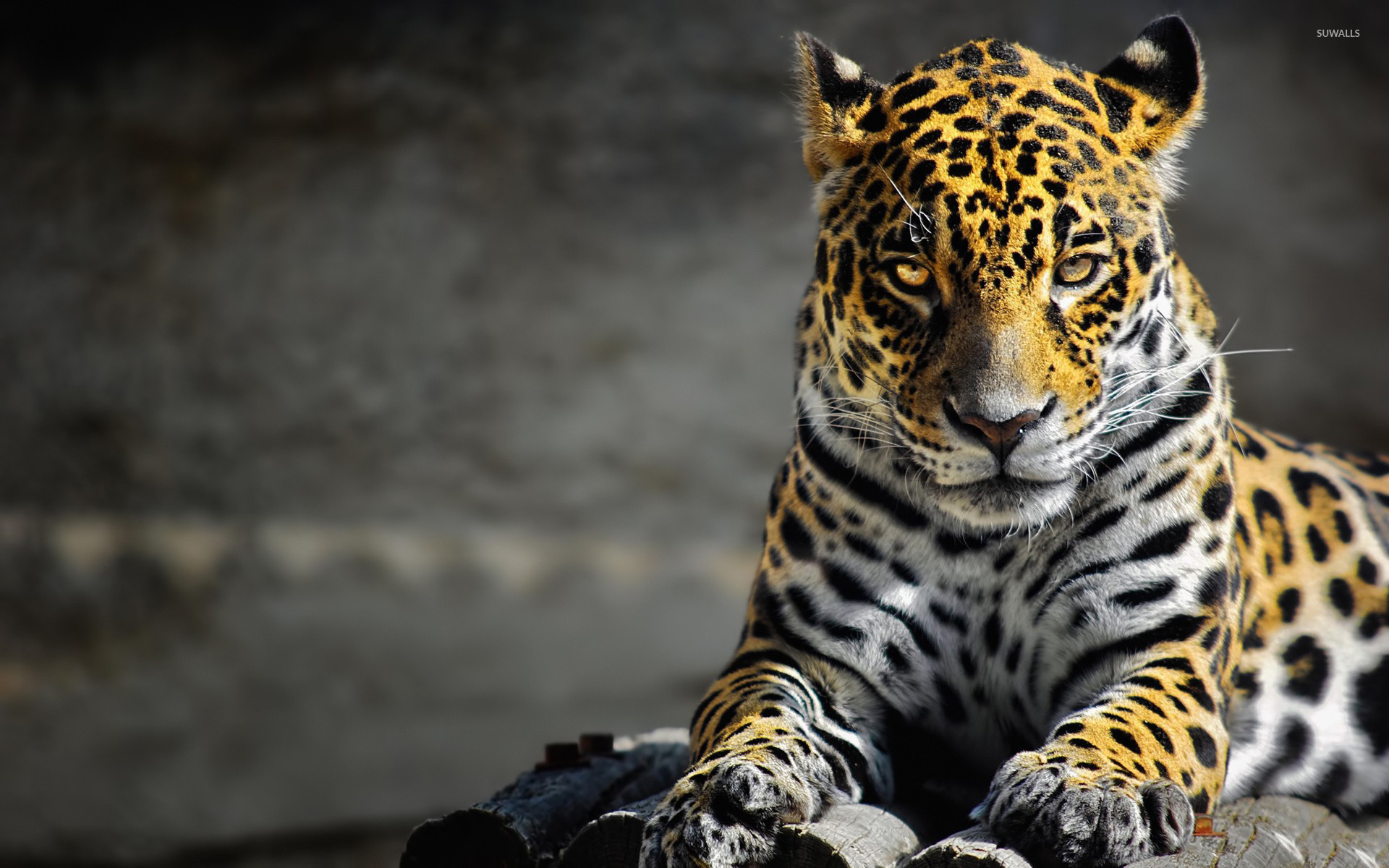 leopard wallpaper animal wallpapers 10488