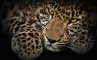 Leopard [4] wallpaper 1920x1200 jpg