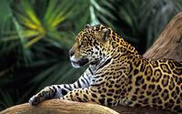 Leopard [3] wallpaper 1920x1200 jpg