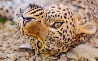 Leopard [12] wallpaper 2560x1600 jpg