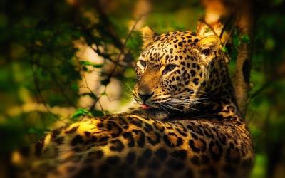 Leopard [21] wallpaper