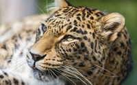 Leopard [22] wallpaper 2560x1600 jpg