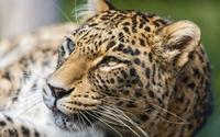 Leopard [22] wallpaper 2560x1600 jpg