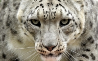 Leopard [13] wallpaper 2560x1600 jpg