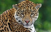 Leopard [17] wallpaper 2560x1600 jpg
