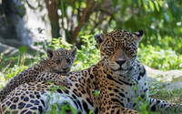 Leopard and its cub resting on the ground wallpaper 1920x1080 jpg