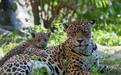 Leopard and its cub resting on the ground wallpaper