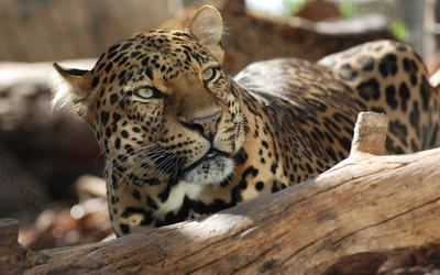 Leopard behind a tree log wallpaper