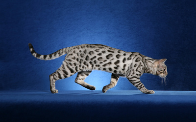 Leopard cat sneaking wallpaper