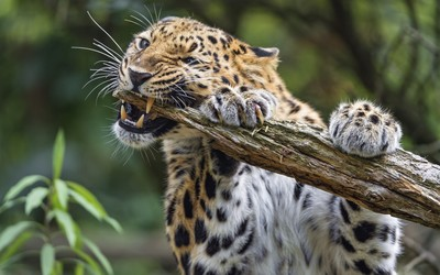 Leopard chewing on a tree wallpaper