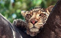 Leopard climbing the tree wallpaper 1920x1200 jpg