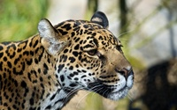Leopard close-up wallpaper 2560x1600 jpg