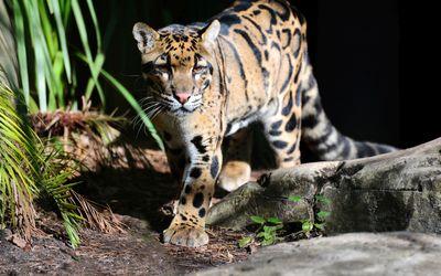 Leopard cub wallpaper