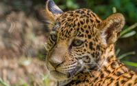 Leopard cub [6] wallpaper 1920x1200 jpg