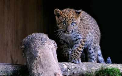 Leopard cub [4] wallpaper
