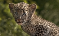 Leopard cub [3] wallpaper 1920x1200 jpg