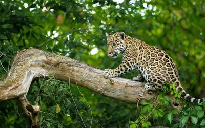 Leopard cub on a branch wallpaper