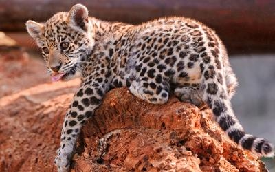 Leopard cub on a red rock wallpaper