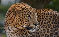 Leopard from a side close-up wallpaper 2560x1600 jpg